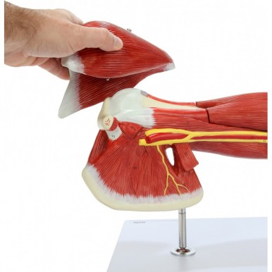 PVC Muscular Arm Anatomy Model Detailed Product Manual