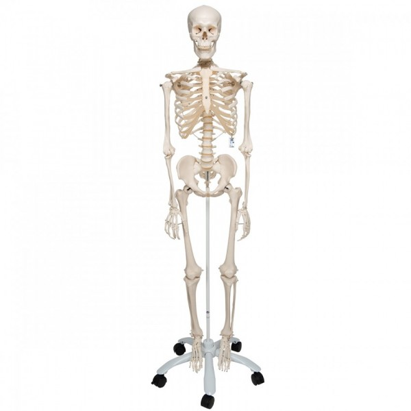 Medical Anatomical Human Skeleton Model, 170cm, Life Size, w/Nerves, Vertebral Arteries, Stand Included