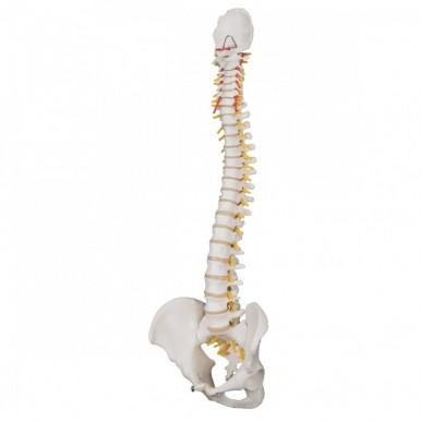 Spine Model with Pelvis (Flexible)