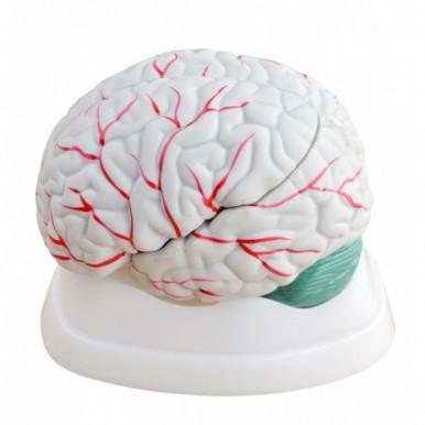 Human Brain 3 Parts Anatomy Model for Teaching Purpose