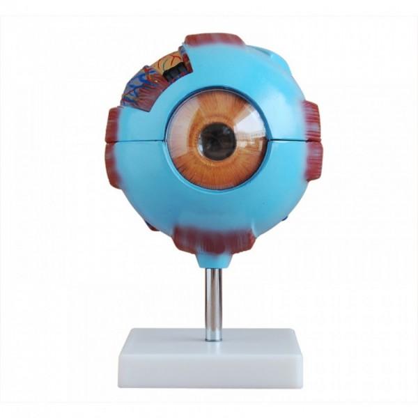 Human Giant Eye Anatomy Model