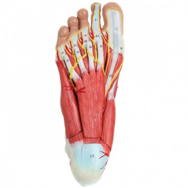 Anatomy Model of Foot with Muscles Ligaments Nerves and Arteries 9 Removable and Numbered Parts Show Internal Foot Detail and Structure Study Guide