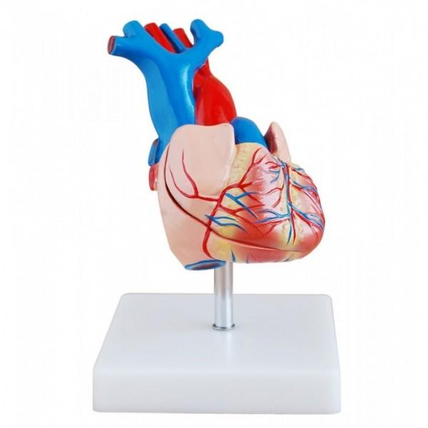 Human Heart Anatomy Model 2 parts for Teaching Purpose